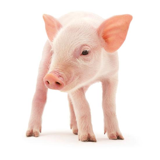 Resultado de imagem para swine