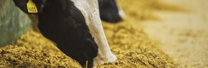 Dairy Feed Banner Image - dairy cows eating